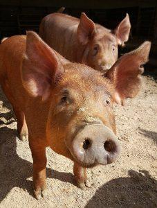 Pork Pay Price